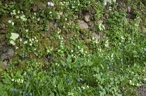 Primroses growing in moss-covered stone wall, Muscari latifolium