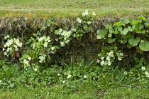 Primroses growing in stone wall