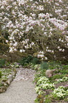 Old magnolia tree in blossom, primroses