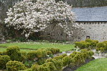 Old magnolia tree in walled garden, cloud-pruned box hedge