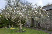 Magnolia tree in blossom, daffodils, barn