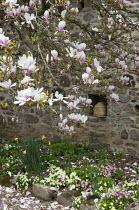 Magnolia in walled garden, bee bole, primroses