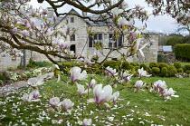 Magnolia blossom in walled garden