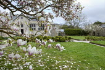 Magnolia overhanging lawn