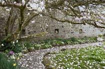 Old magnolia tree in walled garden, Primula vulgaris, bee boles
