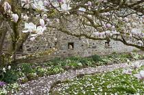 Path under old magnolia tree in walled garden, Primula vulgaris, bee boles