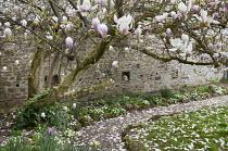 Path under old magnolia tree in walled garden, primroses, bee boles