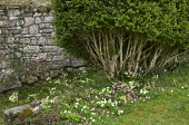 Stone wall, box shrub, Primula vulgaris
