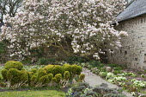 Old magnolia tree in walled garden, cloud-pruned box hedge, Primula vulgaris