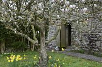 Magnolia tree in walled garden, daffodils, stone barn, lichen-covered trees