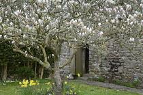 Magnolia tree in walled garden, daffodils, stone barn