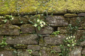 Moss-covered stone wall, ivy, Primula vulgaris