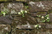 Stone wall with ivy and Primula vulgaris