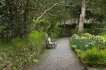 Bench on gravel path, daffodils