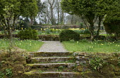 Stone steps, daffodils naturalised in lawn