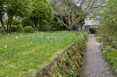 Stone wall with wild primroses, gravel path, daffodils naturalised in lawn