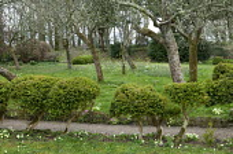 Orchard, cloud-pruned box hedge
