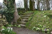 Stone steps ascending bank, Primula vulgaris, daffodils