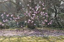 Magnolia campbellii in blossom