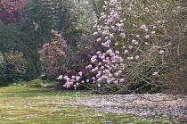 Magnolia campbellii in blossom, camellias