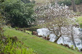 Magnolia stellata on sloping bank by pond