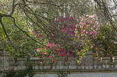 Camellias and rhododendrons, castellated wall