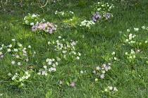 Primroses naturalised in lawn