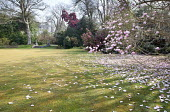 View across lawn to Magnolia campbellii and magnolia, urns