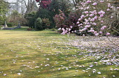 View across lawn to camellias and Magnolia campbellii, petals on lawn