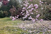 Magnolia campbellii blossom, petals on lawn, camellia