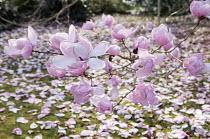 Magnolia campbellii blossom, petals on lawn
