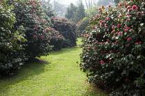 Path through camellia plantation, Camellia japonica 'Lady Clare' syn. Camellia japonica 'Akashigata'