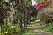 Path lined with Trachycarpus fortunei, rhododendrons