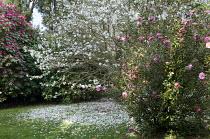 Magnolia stellata, camellias