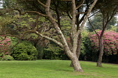 Pine trees in lawn, rhododendrons