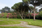 Paths through lawn, Scots pines, rhododendrons