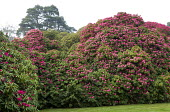 Rhododendron 'Cornish Red'
