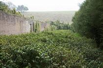Tea plantation, Camellia sinensis and Leptospermum scoparium in walled garden