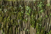 Umbilicus rupestris, Navelwort or Wall pennywort and moss on stone wall