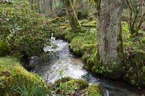 Camellia overhanging stream through woodland garden, moss