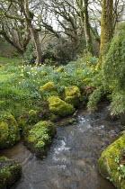 Stream, moss-covered rocks, daffodils, camellia