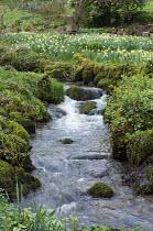 Stream through woodland, daffodils