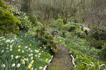 Log-edged path, daffodils, pieris, camellias