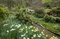 Daffodils, pieris and camellias in woodland garden