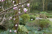 Magnolia in woodland garden, view to bench and gate