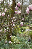 Magnolia in woodland garden