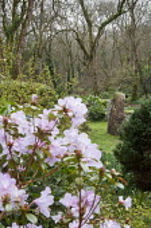 Standing stone in woodland garden, rhododendron