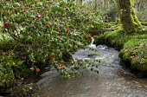 Camellia over stream, bridge