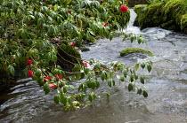 Camellia over stream