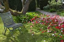 Anemone hortensis syn. Anemone stellata, chair in dappled shade under tree